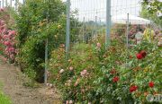 Pillnitzer-Gartentag-2013-27